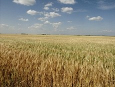 barley230x234