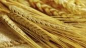 wheat230x234