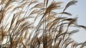 grasses230x234