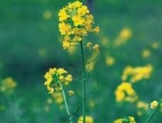 Mustard230x234