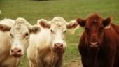 cow-trio-300x175