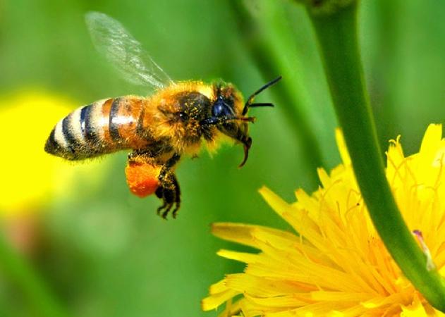 HoneyBee630x450