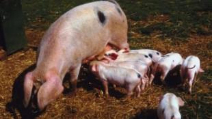 pigs631x354