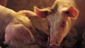 pig faces 631x354