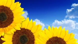 Sunflowers630x350