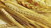 wheat631x354
