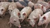 hogs360x211