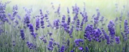 Lavender181x74