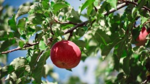 Apple on tree branch