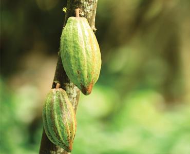 cocoa-370x300