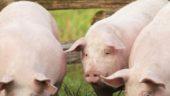 DuBreton - Three Pigs