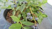 potted-blueberry-plant-close-up-1024x768