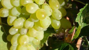 fresh-table-grapes-1024x1024