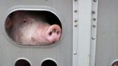 Pig on its last way to the slaughterhouse. Canada