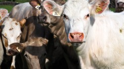 cows-group