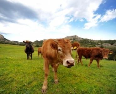 CowsFreeDigital370x300