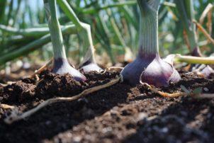 onions-1024x684