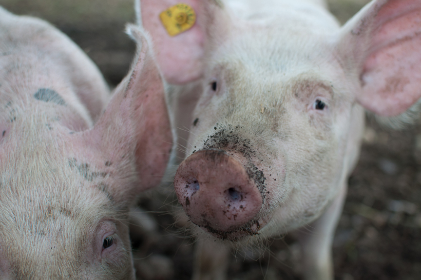 Project will support pork producer risk-management strategy