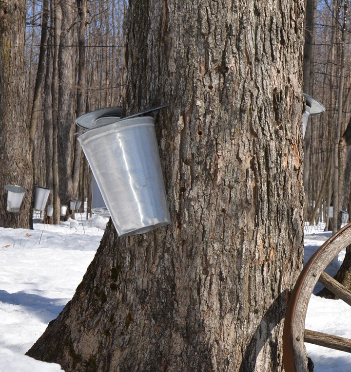 Beetle that threatened maple syrup industry eradicated in Mississauga and Toronto